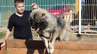 Кавказская овчарка - мифы и реальность!