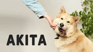 Akita  Japanese Hunting Dog Complete Guide