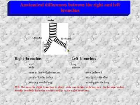 50- Anatomical differences between the right and left bronchi - YouTube