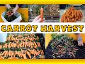 Harvesting Carrots Grown In Containers - Grow Organic Carrots in 5 Gallon Buckets