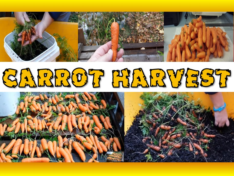 Harvesting Carrots Grown In Containers   Grow Organic Carrots In 5 Gallon  Buckets   YouTube