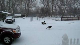 Wild Turkeys.avi