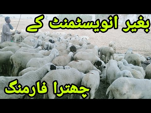 chatra farming without investment / how to do male sheep farming