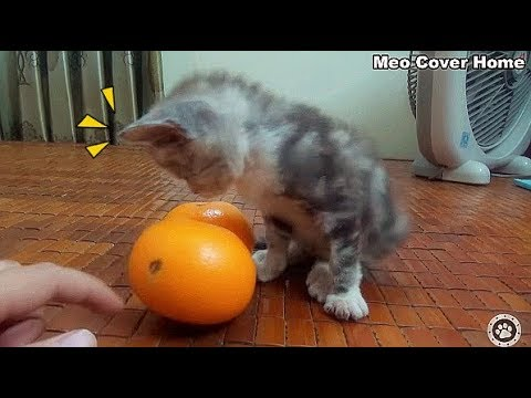 Cat is Chasing Two Orange So Funny   Funny Cat Vines 2018 [Funny Pets]