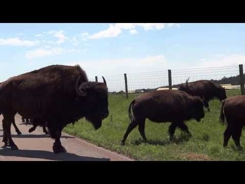 Close Encounter with Buffalo - Custer State Park, South Dakota 2 of 2