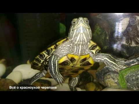 Продавцы красноухих черепах дают ужасные советы по содержанию!/Sellers Give Terrible Advice