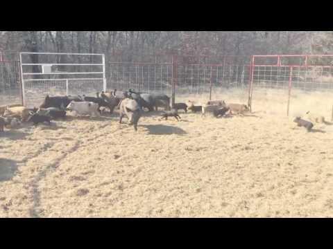 51 hogs captured in JagerPro trap
