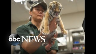 Rare tiger cub finds new home with foster mom