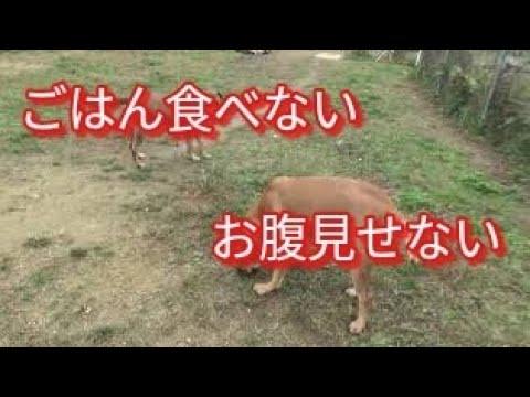 食が細い犬(食べない犬)お腹を見せない犬