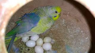 BUDGIES COLONY PROGRESS IN URDU