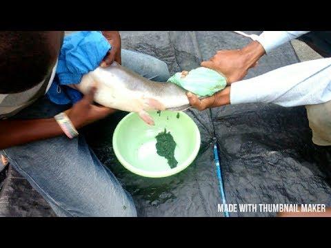 FISH BREEDING SYSTEM / BIG FISH HEAD EGGS HATCHERY. ARTIFICIAL FERTILIZATION OF FISH EGGS.
