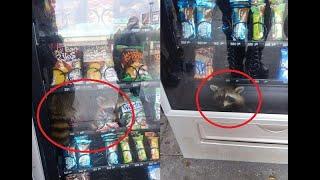 Raccoon gets stuck in vending machine  CCTV English