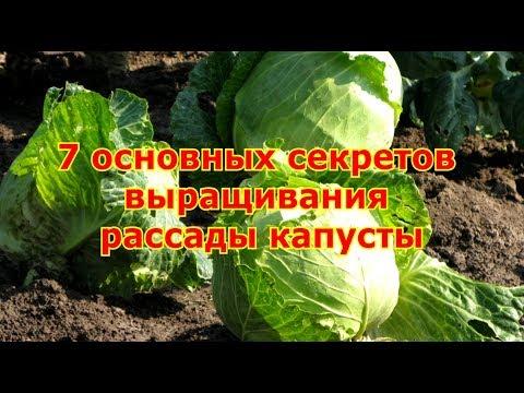 7 основных секретов выращивания рассады капусты