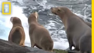 Never Before Seen! Sealion Attacks Octopus | National Geographic