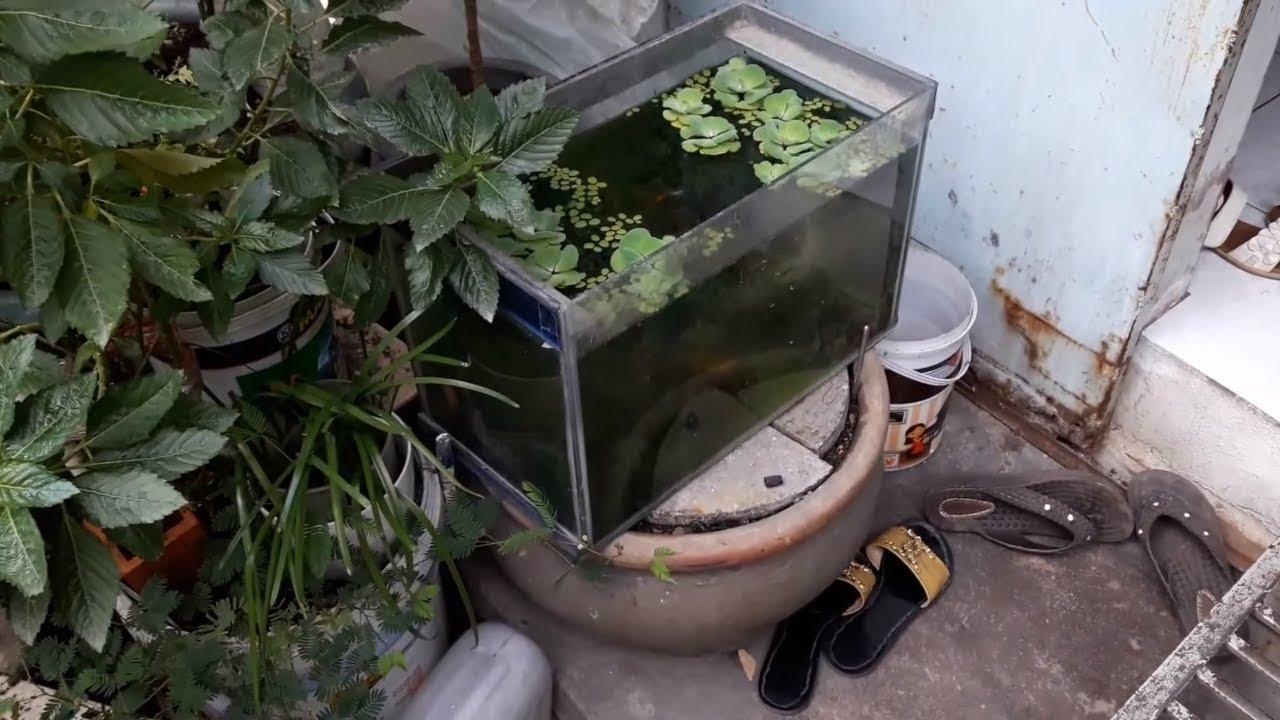 Bí quyết Bể Cá Bảy Màu không cần lọc nước (VietSub)