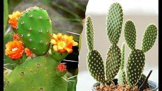 20 Tipos únicos y elegantes de cactus Opuntia !