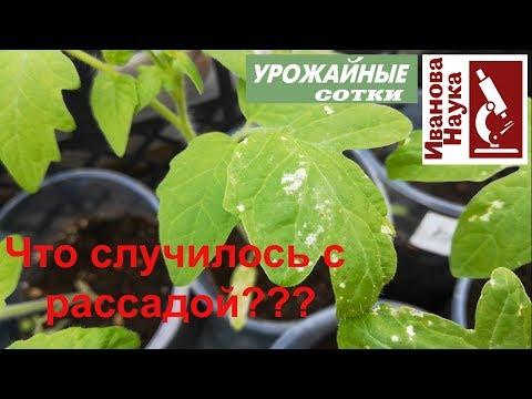СРОЧНО! Рассада ЗАБОЛЕЛА? Подозрительные пятна на рассаде и как с ними бороться. | эффективность | достоверность | урожайные | процветок | русских | иванова | урожай | рассад | огород | сотки