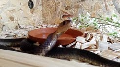 Cobra in Burgas