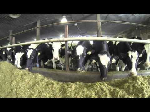 Milk from the Arctic - Dairy Farming in Canada