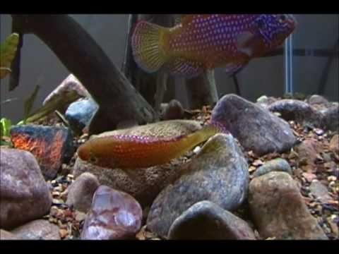 Jewel Cichlid Reproduction