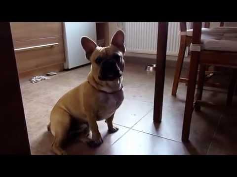 French Bulldog - Buldog Francuski 'MANIEK' i jego 'kurczaczek':)