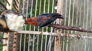 Burung Cabean Hasil Pikat Makannya Banyak Banget