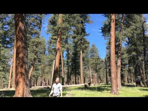 Healthy ponderosa pine forest