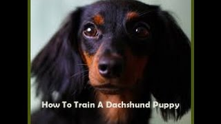 Are Dachshund Puppies Hard to Train
