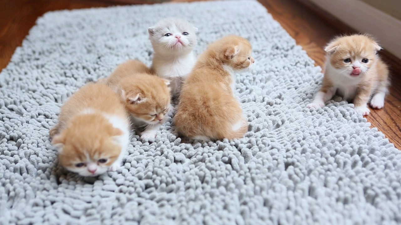 Meet The Garfield Scottish Fold Kittens Youtube