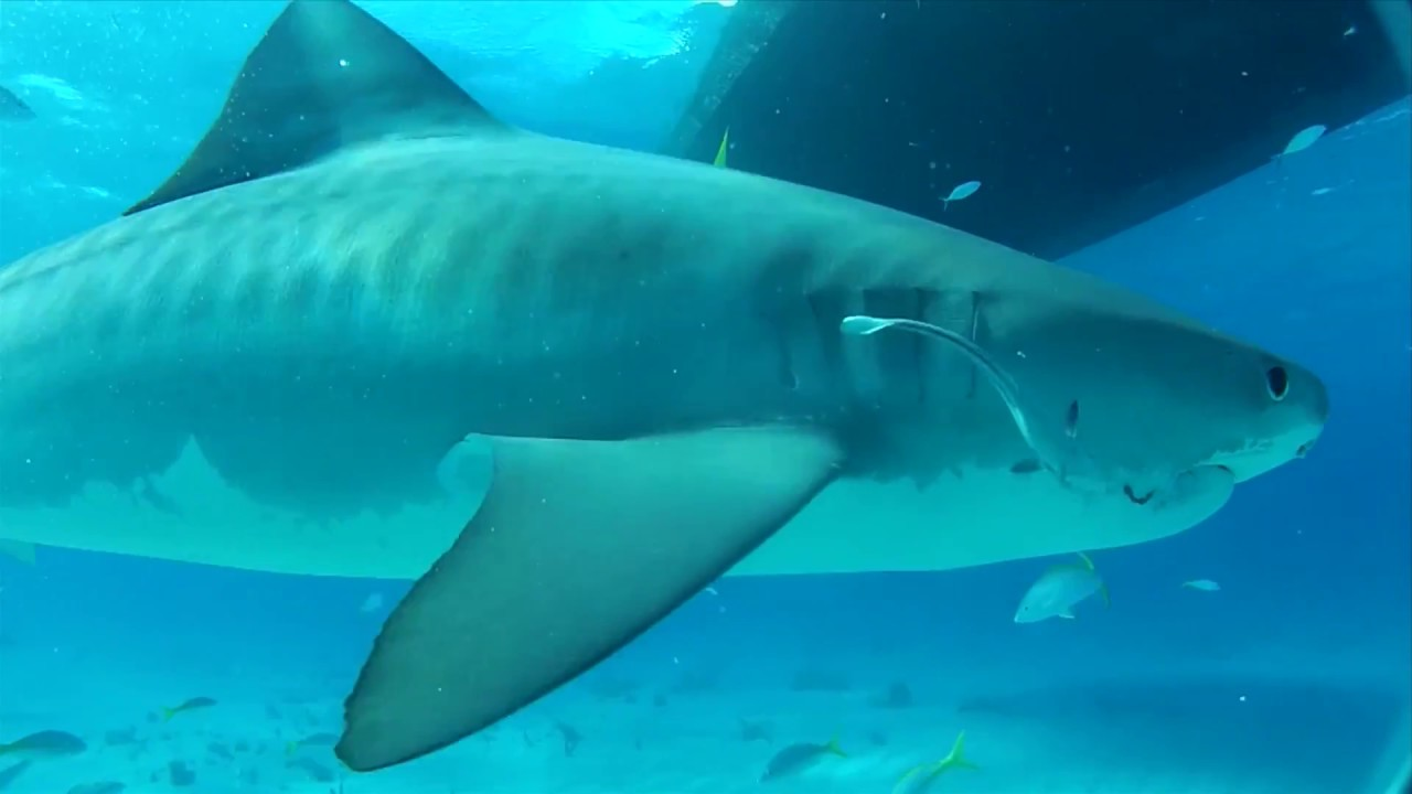 Shark Populations Decline In Queensland: What Does It Mean
