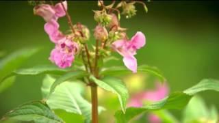 Fixers Himalayan Balsam Story on ITV News Tyne Tees, August 2015