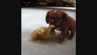 First Day Home As Ducky. Cavalier King Charles Spaniel.