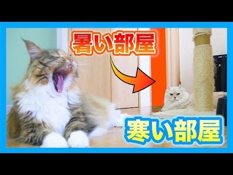冷部屋から暑部屋に移動したら猫はついてきちゃう?
