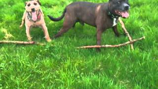 Staffordshire Bull Terrier And Patterdale Terrier Want Same Stick
