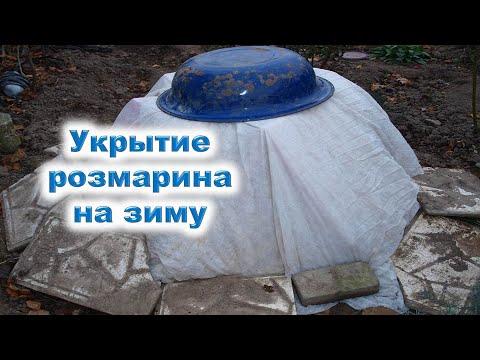 Розмарин в открытом грунте: 7 декабря обрезка и укрытие на зиму. Как сохранить розмарин в мороз?