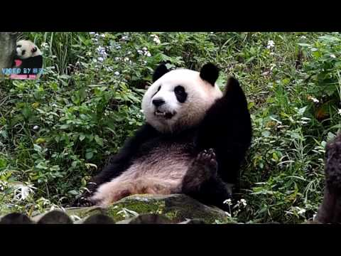 20170324 圓仔吃手手翹腳腳 The Giant Panda Yuan Zai