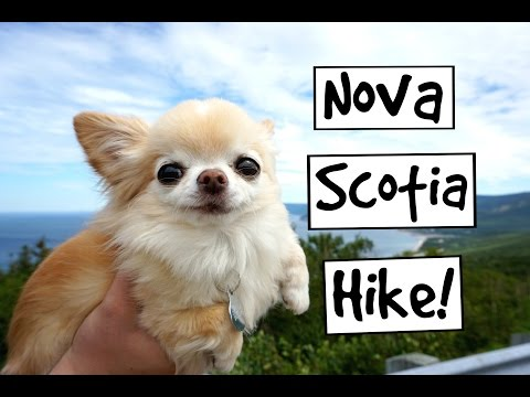 CUTE PUPPY sized chihuahua HIKING in Nova Scotia