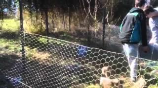Chicken Wire Wrestle
