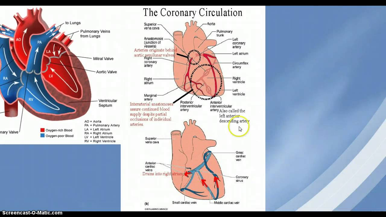 Anatomy And Physiology The Heart And Cardiac Muscle Properties