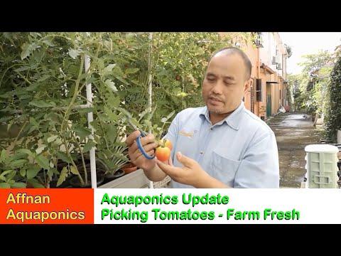 Affnan's Aquaponics - Picking Tomatoes