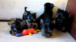 Yorkshire Terrier Catei De Vanzare