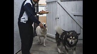Alaskan Malamute German Shepherd   Happy Easter Meal   Chicken Drumsticks   Dog Food Training