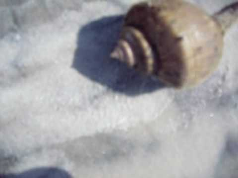 live Whelk at Matanzas Inlet, Florida