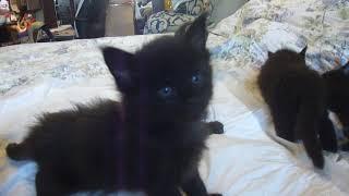 Котята мейн кун 1 месяц, чёрный солид, таби на чёрном и мраморный