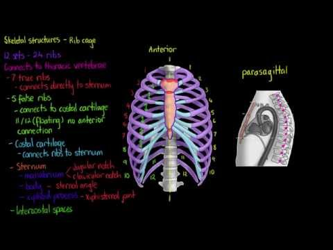 Skeletal Structures- The Rib Cage