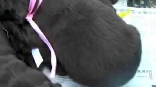チョコ(レバー)のフラットコーテッド子犬!!<子犬の利根RS>