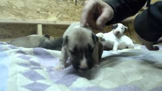Oregon Bull Terrier Puppies December 14th, 2013