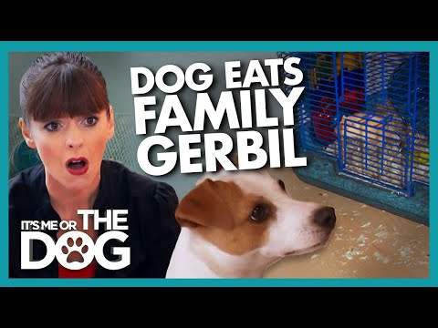 'Killer Instinct' Makes Jack Russell Eat Family Pet    It's Me or The Dog