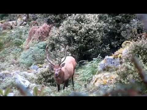 Wapiti Ballot Fiordland Roar Hunt, Wapiti And Red Stags