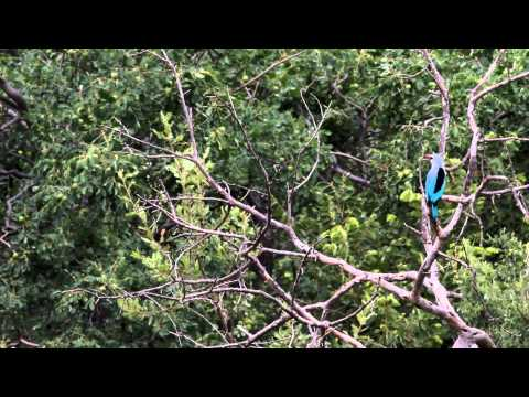 Woodlands Kingfisher Call